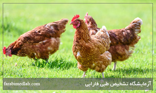 علائم آنفولانزای مرغی